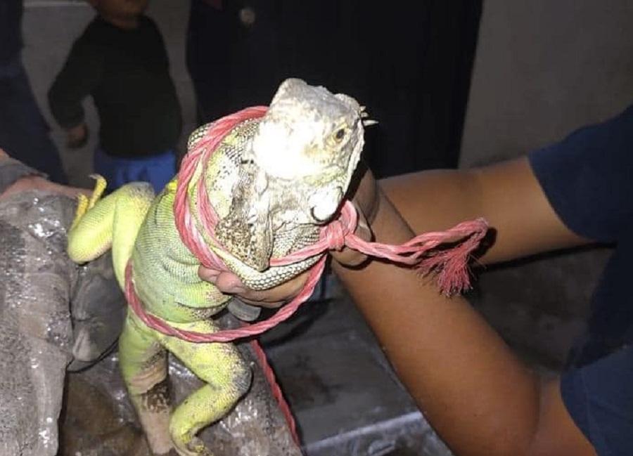 Iguana rescatada
