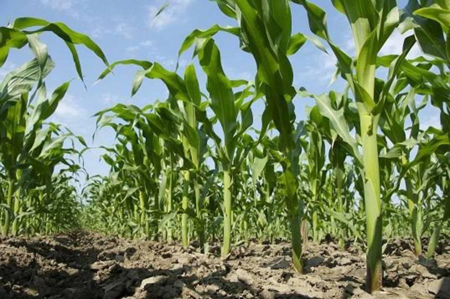 disminución e maíz