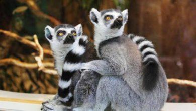 Día del Lemur
